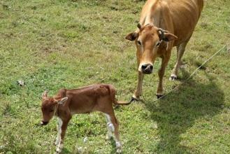 Cow and calf near Dalat