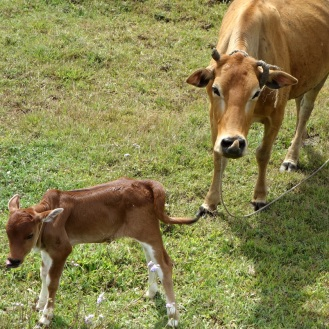 Cow and calf near Dalat