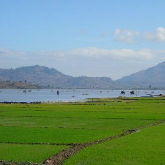 Lak lake rice paddies, elephants in the distance