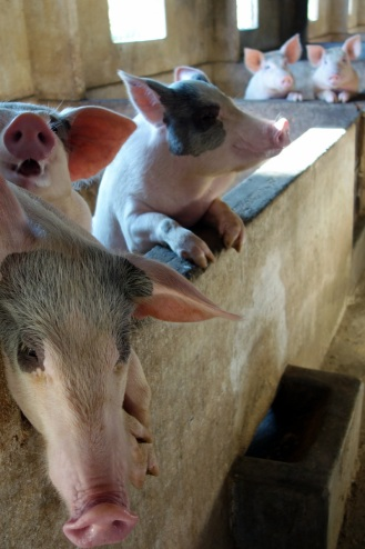 Pigs in the orphanage. They have a very impressive small farm where the kids learn various farming skills etc.