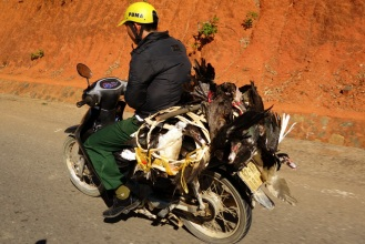 Live chickens on motorbike.