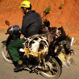Live chickens on motorbike.