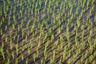 Visit to a rice farm, Lan taught us how rice is grown. This is the carefully re-planted rice plants.