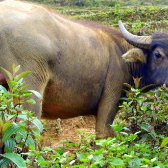 One of MANY water buffaloes