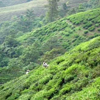 Workers harvesting the tea leaves