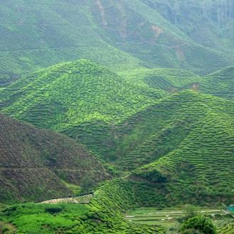 At tea plantation #2